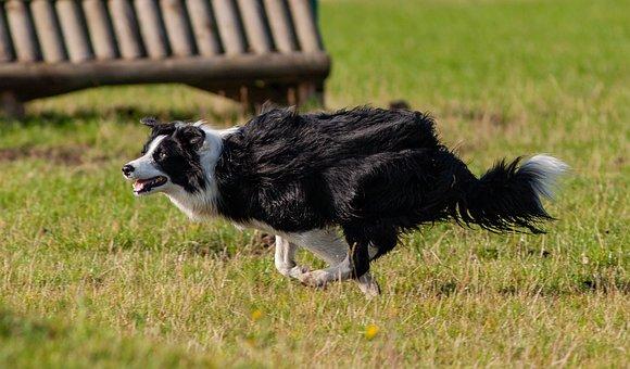Running Dog, Black And White Running Dog, Sheep Dog