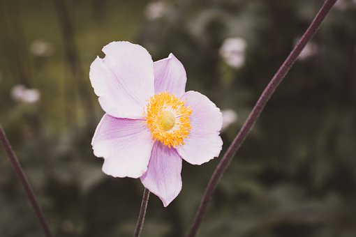 Anemone, Blossom, Bloom, Pink, Flower, Late Summer