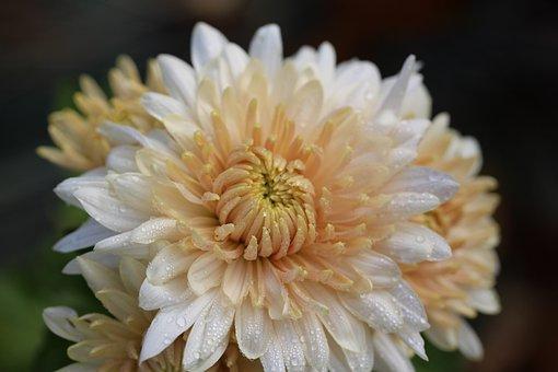 Chrysanthemum, Raindrop, Blossom, Bloom, Close Up