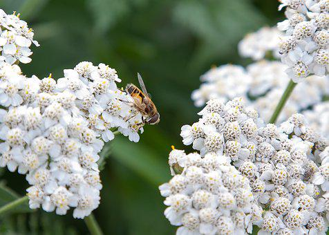 Wild Flower, Bee, Insect, Blossom, Bloom, Flower
