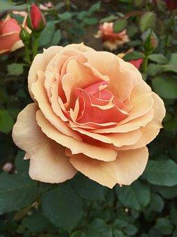 Rose, Garden, Nature, Bloom, Blossom, Pink, Love