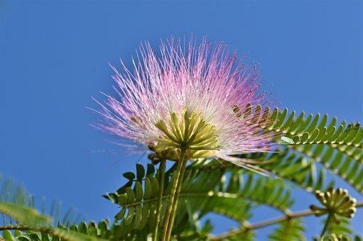 Silk Tree, Silk Acacia, Sleeping Tree, Tree, Blossom