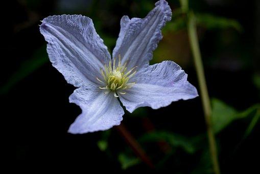 Clematis, White, Garden, Blossom, Bloom, Flower