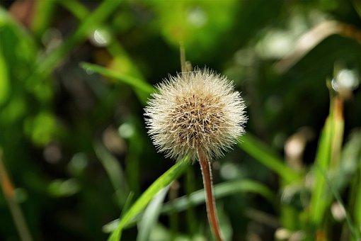 Dandelion, Flying Seeds, Close Up, Plant