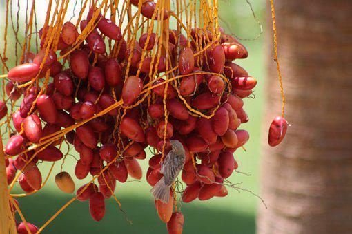 Dates, Palm, Fruits, Date Palm, Exotic, Red