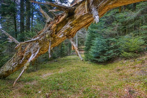 Tree, Broken, Old, Wood, Nature, Forest, Dead, Trunk