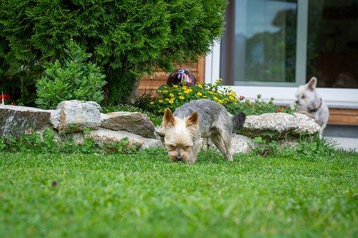Dog, Animal, Small, Small Dog, Garden, At Home, Yorki