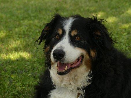 Pets, Dogs, Breed Bernese Mountain Dog, Portrait