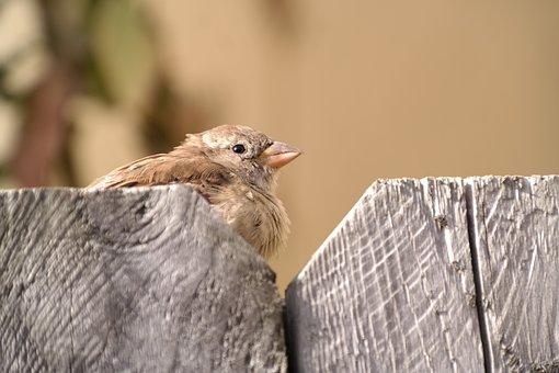 Sparrow, Sperling, Bird, Plumage, Nature, Bill, Feather