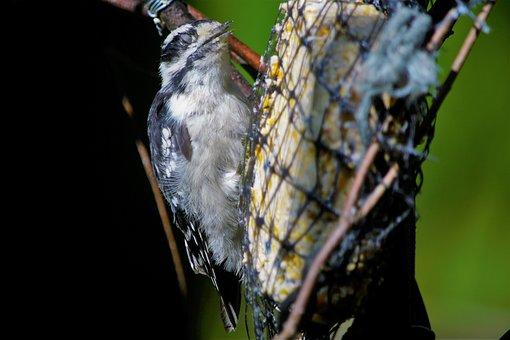 Bird, Woodpecker, Downy Woodpecker, Female, Blinking