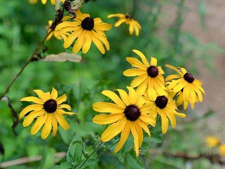 Black Eyed Susan, Flower, West Virginia
