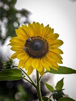 Sunflower, Garden, Summer, Nature, Flower, Yellow