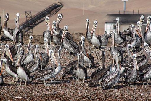 Pelikan, Swarm, Water Bird, Group, Pelicans, Bird
