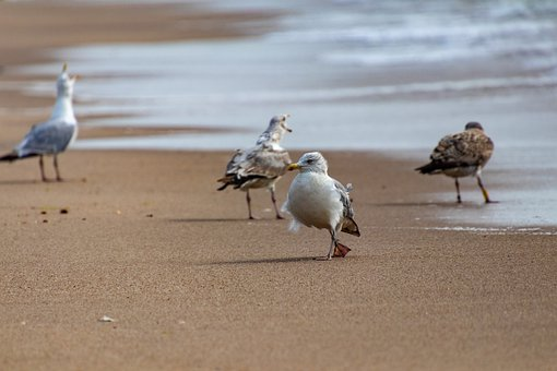 Gulls, North Sea, Sylt, Sea, Nature, Coast, Water Bird