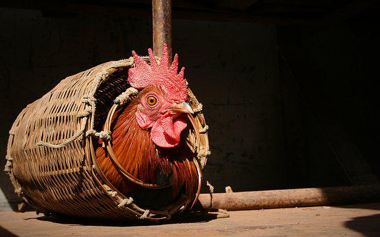 Rooster In The Basket, Hahn, Caught, Basket, Easter