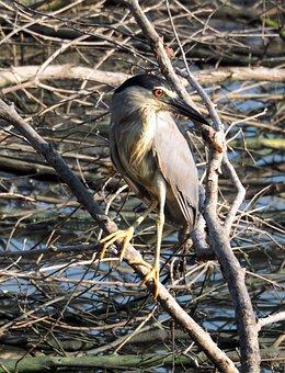 Night Heron, Perch, Outdoor, Water, Wetland, Hunting