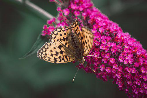 Butterfly, Lilac, Summer Lilac, Animal, Insect