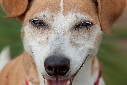 Jack Russel, Dog, Terrier, Sweet, Animal, View, Pet