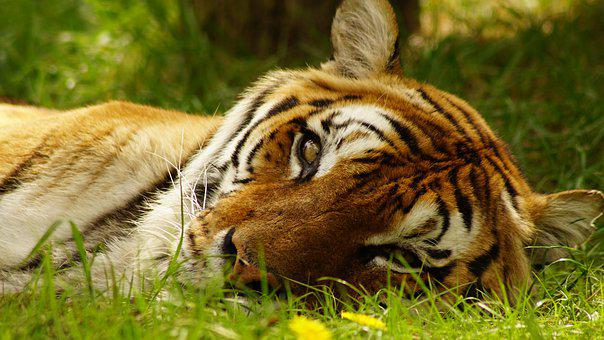 Tiger, Spring, Animal, Mammals, King, Sleep, View