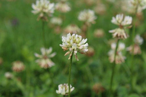 Flower, Blossom, Bloom, Klee, Spring, Bloom, White