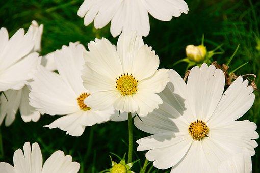 Kosmee, Plant, White, Flower Garden