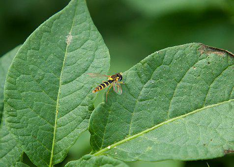 Fly, Leaf, Green, Nature, Insect, Wing, Animal