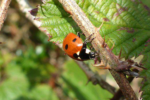 Nature, Insect, Ladybug, Beetle, Points, Red, Leaf