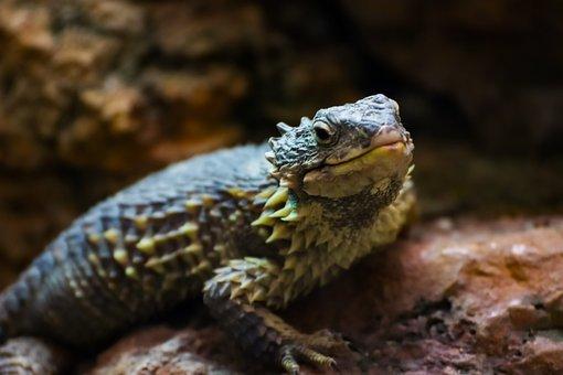 Lizard, Reptile, Gecko, Animal, Iguana, Nature