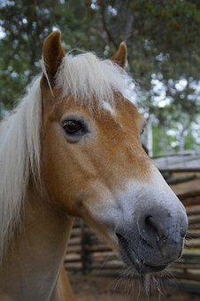 Haflinger, Horse, Pony, Portrait, Pasture, Mammal, Mane