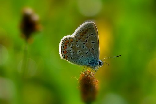 Butterfly, Morning Sun, Meadow, Common Blue, Mood, Sun
