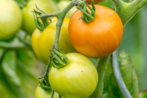 Tomatoes, Immature, Nature, Garden, Tomatenrispe