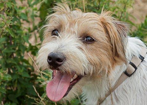 Parson Jack Russel, Dog, Terrier, Sweet, Animal, View