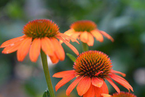 Coneflower, Flower, Blossom, Bloom, Pattern, Nature