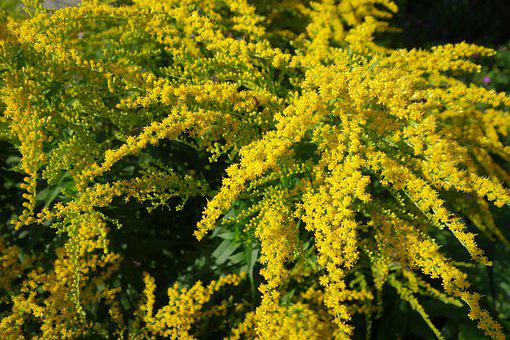 Golden Rod, Yellow, Plant, Autumn, Nature, Flowers