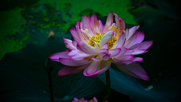 Lotus, Water Lotus, Flower, Pond, Pink, Nature, Blossom