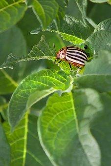 Potato Beetle, Pest, Insect, Potato, Beetle, Leaf