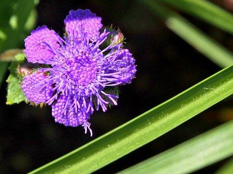 Ageratum, Ageratum Houstonianum, Purple, Blossom, Bloom