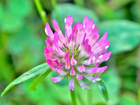 Klee, Blossom, Bloom, Meadow, Red Clover, Red, Petals