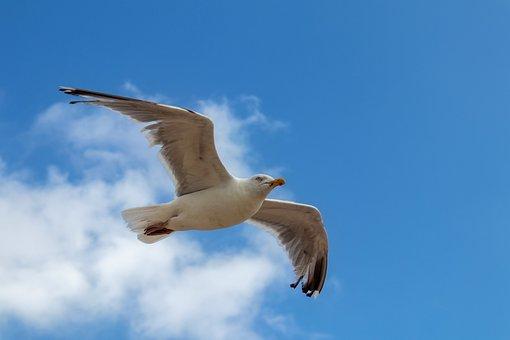Seagull, Flying, Bird, Nature, Sky, Freedom, Animal