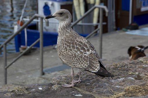 Rügen, Seagull, Bird, Water Bird, Animal World, Sea