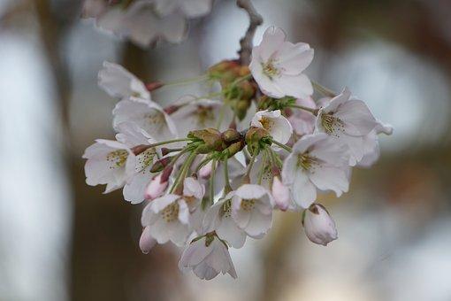 Cherry, Blossom, Bloom, Flower, Bud, Spring