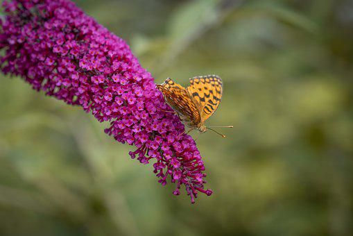 Butterfly, Insect, Summer Lilac, Lilac, Garden, Summer