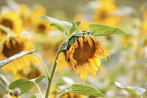 Sunflower, Wild, Yellow, Flowers, Summer Flower, Nature