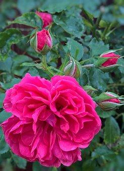 Flowers, Roses, Rosebush, Garden, Summer, Large Flowers