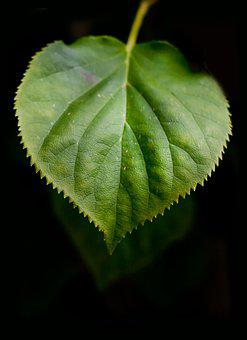 Leaf, Green, Nature, Tree, Plant, Summer, Natural