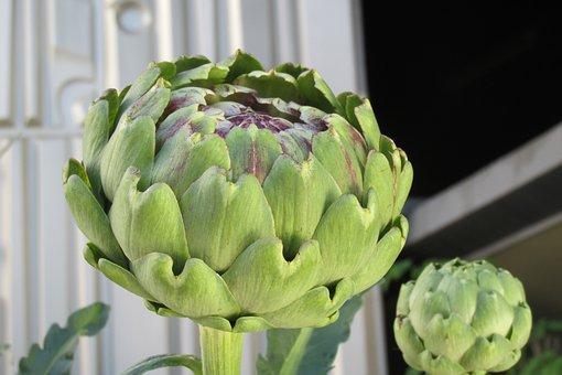 Artichoke, Plant, Garden, Food, Vegetables, Thistle