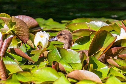 Duck, Chicks, Park, Pond, Lake, Water Bird, Nature
