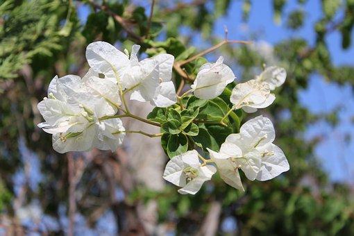 White, Flower, Summer, Sky, Blue, Nature, Green, Leaves
