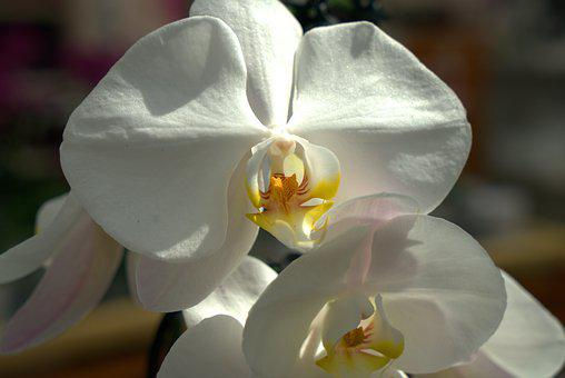 Orchid, Flower, White, Blossom, Bloom, Close Up