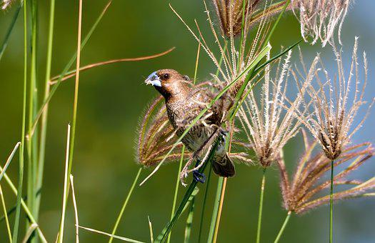 Scaly-breasted Munia, Wild, Bird, Wildlife, Natural